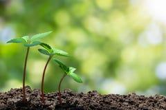 与长大从在被弄脏的绿色bokeh的土壤的水下落的年轻绿色新芽有软的阳光背景 免版税库存照片