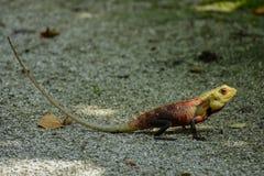 与长尾巴的蜥蜴坐地面 库存图片