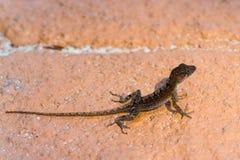 与长尾巴的一只小蜥蜴在岩石 库存照片