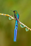 与长尾巴的鸟 与长尾巴的美丽的蓝色光滑的蜂鸟 长尾的空气的精灵,与长的蓝色尾巴的蜂鸟在n 免版税图库摄影