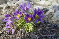 与长毛的花的Pulsatia patens 库存照片