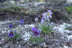 与长毛的花的Pulsatia patens 免版税库存照片