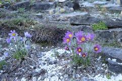 与长毛的花的Pulsatia patens 免版税图库摄影