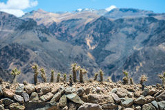 与长的刺的仙人掌在科尔卡峡谷,秘鲁 免版税库存图片