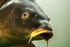 与长的口须的鲶鱼顶头细节 库存照片