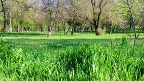 与长的叶子的新鲜的绿草在公园下午 股票视频
