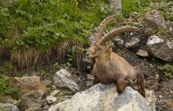 与长的垫铁的休息的高山高地山羊 免版税库存图片
