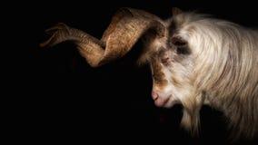 与长的垫铁的山羊在黑背景前面 图库摄影