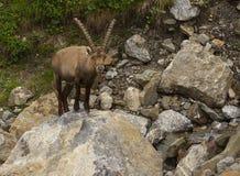 与长的垫铁的观看的高山高地山羊 库存照片