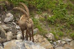 与长的垫铁的观看的高山高地山羊 免版税库存照片
