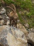 与长的垫铁的观看的高山高地山羊 免版税库存图片