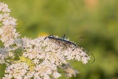 与长的天线的一只甲虫坐花 免版税图库摄影