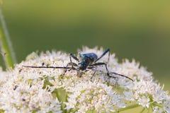 与长的天线的一只甲虫坐花 免版税库存照片