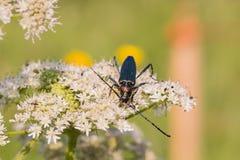 与长的天线的一只甲虫坐花 免版税库存图片