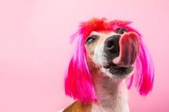 与长的巨大的舌头的可爱的狗小狗 带淡红色的样式 一条狗的讽刺滑稽的画象在假发的 库存图片