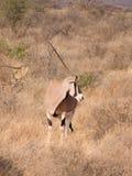 与长的平直的垫铁的大羚羊非洲羚羊在狂放的s 免版税图库摄影