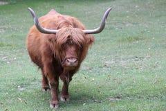 与长的棕色头发的大牦牛和大垫铁 免版税库存照片