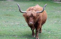 与长的棕色头发的大牦牛 库存图片