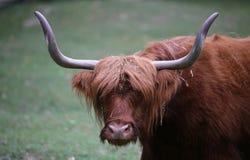 与长的棕色头发的牦牛,当吃草草坪时 库存图片