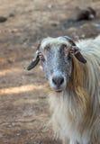 与长的灰色头发的山羊 以色列 免版税库存图片