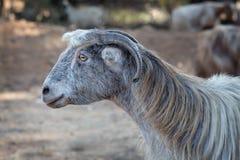 与长的灰色头发的山羊 以色列 免版税库存照片