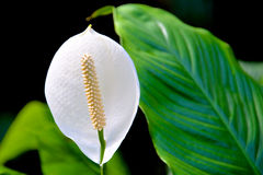 与长的白色雄芯花蕊的白花 免版税库存照片