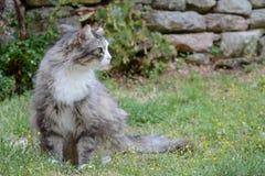 与长的皮肤的骄傲的灰色猫 免版税库存图片