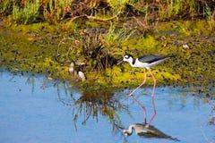 与长的稀薄的腿的喜欢票据趟过在水中的黑收缩的高跷鸟和针搜寻食物 免版税库存图片