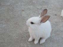 与长的耳朵的可爱的白色兔子 免版税库存照片