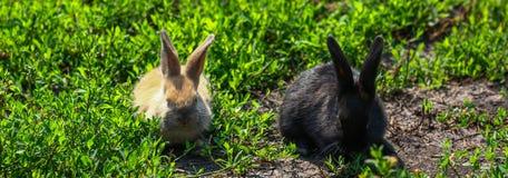 与长的耳朵的黑和红色矮小的滑稽的兔子 免版税图库摄影