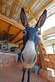 与长的耳朵的Funny农场驴 免版税库存图片