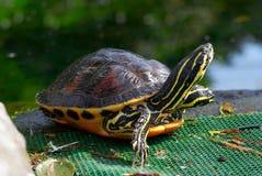 与长的脖子的黄褐色乌龟 免版税图库摄影