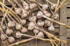与长的茎的新鲜的大蒜电灯泡在土气桌上 库存图片