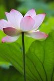 与长的茎的莲花 免版税库存图片
