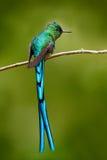 与长的蓝色尾巴的绿色鸟 与长尾巴的美丽的蓝色光滑的蜂鸟 长尾的空气的精灵,与长的蓝色ta的蜂鸟 图库摄影