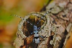 与长的试探者的美好的蓝色乱伦,有长触角的Rosalia, Rosalia alpina,在自然绿色森林栖所,坐tre 免版税图库摄影