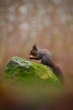 与长的针对性的耳朵的逗人喜爱的红松鼠在背景中吃在秋天橙色场面的一枚坚果与好的落叶林,动物si 图库摄影