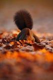 与长的针对性的耳朵的逗人喜爱的红松鼠在背景中吃在秋天橙色场面的一枚坚果与好的落叶林,暗藏  免版税库存照片