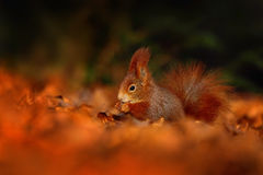 与长的针对性的耳朵的逗人喜爱的红松鼠在背景中吃在秋天橙色场面的一枚坚果与好的落叶林,暗藏  图库摄影