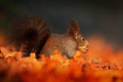 与长的针对性的耳朵的逗人喜爱的红松鼠在背景中吃在秋天橙色场面的一枚坚果与好的落叶林,暗藏  免版税图库摄影