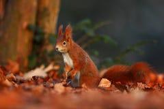 与长的针对性的耳朵的逗人喜爱的红松鼠在背景中吃在秋天橙色场面的一枚坚果与好的落叶林,暗藏  库存照片