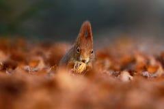 与长的针对性的耳朵的逗人喜爱的红松鼠在背景中吃在秋天橙色场面的一枚坚果与好的落叶林 免版税库存照片