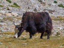 与长的长毛的羊毛的巨大的黑西藏牦牛吃草在一个高山草甸的吃草,喜马拉雅山,西藏 免版税库存图片