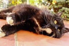 与长的颊须的懒惰逗人喜爱的猫宠物 说谎在地板上 免版税库存图片