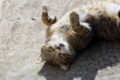 与长的颊须和绿色黄色眼睛放置的大蓬松无家可归的猫室外 免版税库存图片