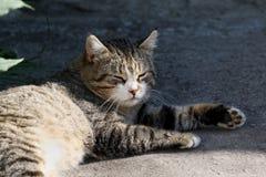 与长的颊须和绿色黄色眼睛放置的大蓬松无家可归的猫室外 库存图片