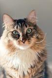 与长的颊须的灰色美丽的猫 库存照片