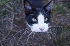 与长的颊须的猫 图库摄影