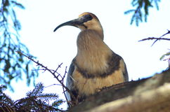 与长的额嘴的鸟在树 图库摄影