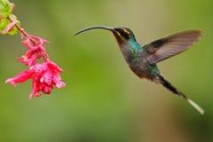 与长的额嘴,绿色隐士, Phaethornis人,明白浅绿色的背景,行动飞行场面的蜂鸟在自然栖所 库存图片